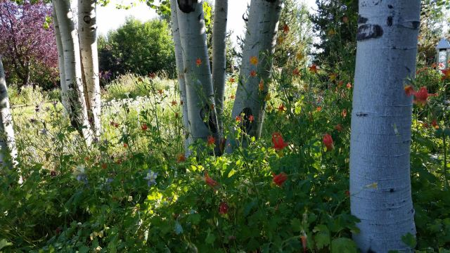 Aspens and Columbine