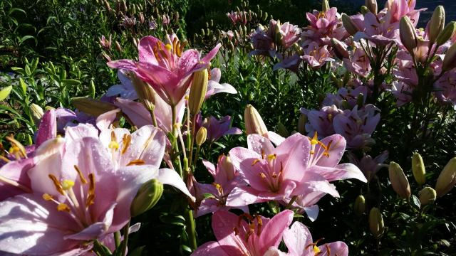 Lily Garden at the Yampa River Botanic Garden